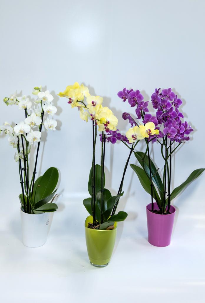 Phalaenopsis - Orchidee - Auswahl