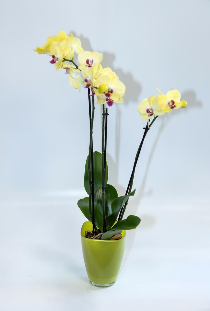 Phalaenopsis - Orchidee gelb