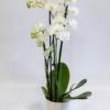 Phalaenopsis - Orchidee weiß