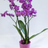 Phalaenopsis - Orchidee rosé