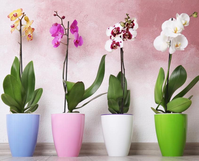 Schöne tropische Orchideen in passenden Töpfen